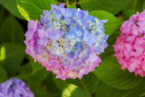 2色の紫陽花