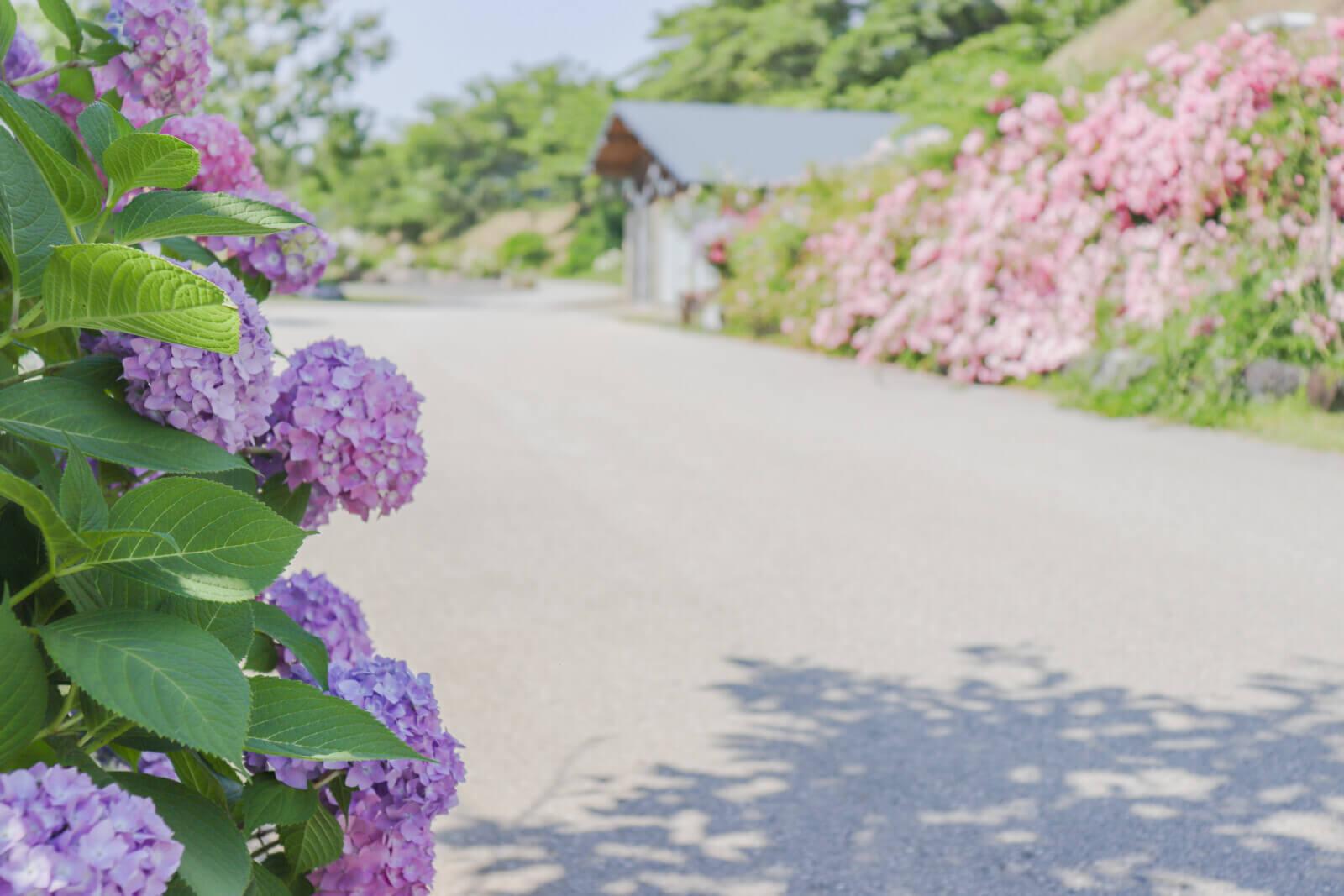 紫陽花が咲くフラワーロード