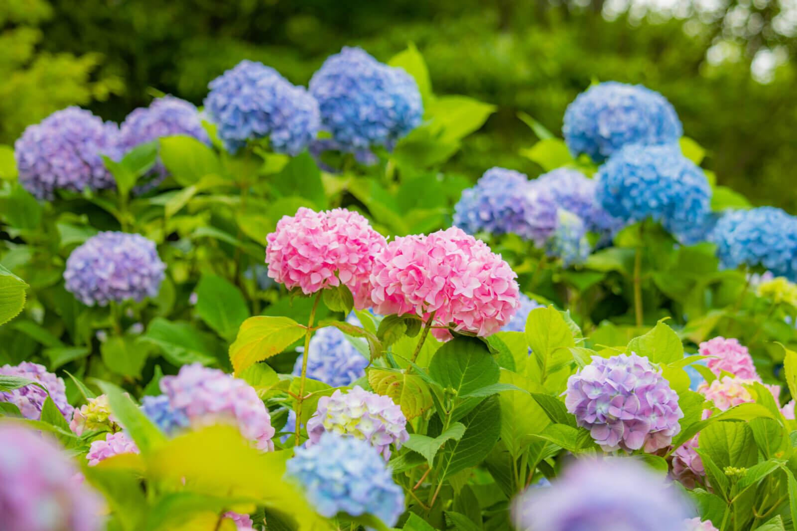 さくらんぼみたい!ピンクの紫陽花が2つ