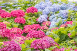 赤と青の紫陽花