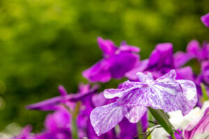 白色が入った菖蒲の花