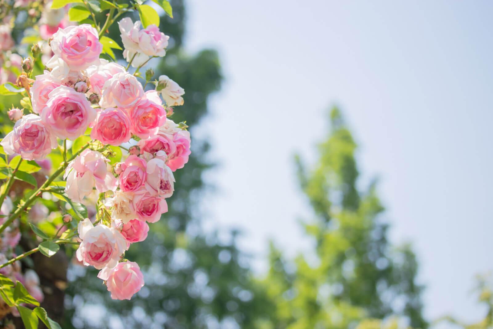 ピンクのバラと水色の空